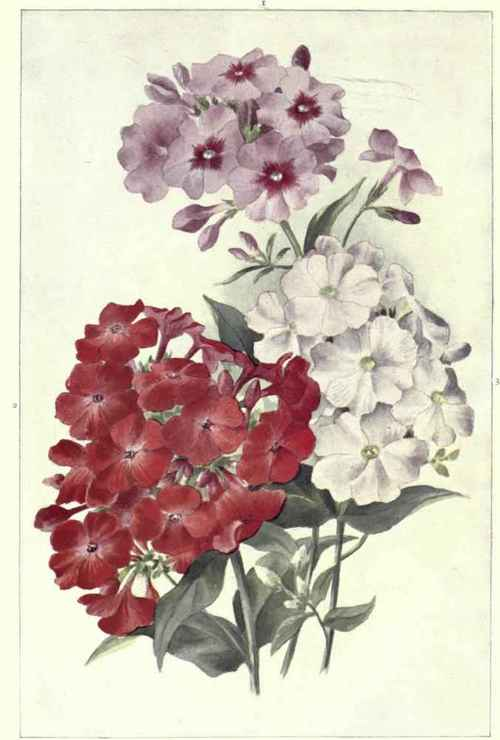PERENNIAL-PHLOXES 1. Crepuscule. 2. Coquelicot. 3. Tapis Blanc. (Three-fourths natural size).jpg